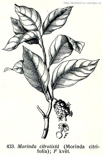 Noni citrusolistá - Morinda citrifolia