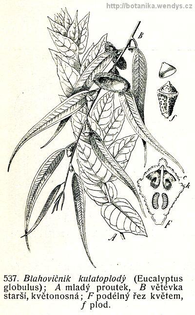 Blahovičník kulatoplodý - Eucalyptus globulus