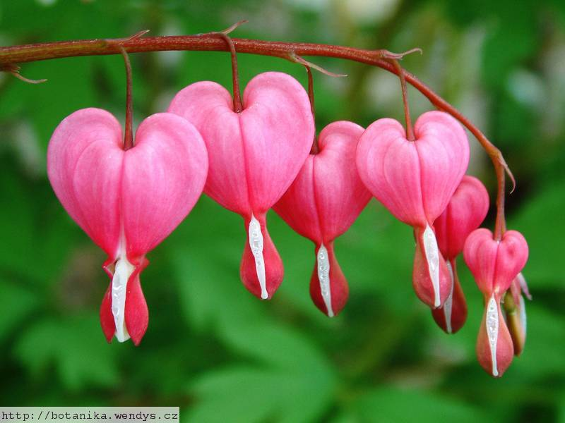 Herb wendys dicentra spectabilis srdcovka n dhern - Dicentra coeur de marie ...