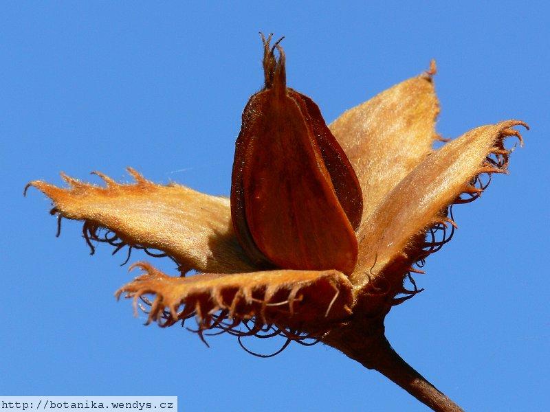 http://botanika.wendys.cz/images/stories/693/O693_3.jpg